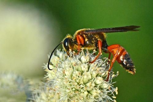 greatgoldendiggerwasp golden digger wasp chisholmcreekpark wichita kansas