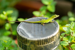 New Green Anole-1