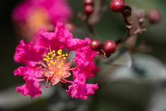 Black Diamond Crepe Myrtle
