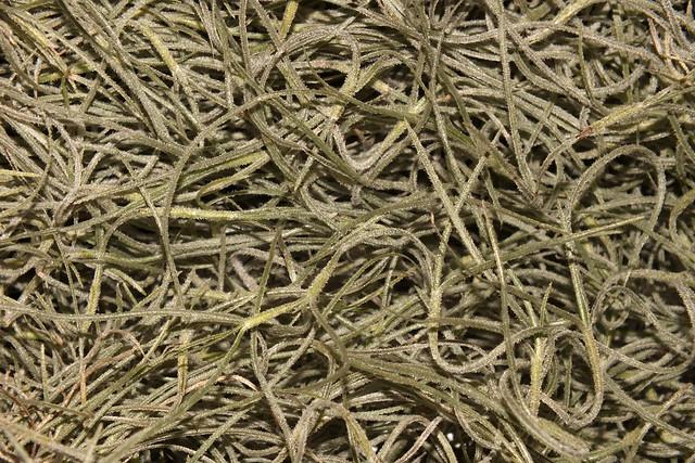 Spanish moss (Tillandsia (Diaphoranthema) usneoides)