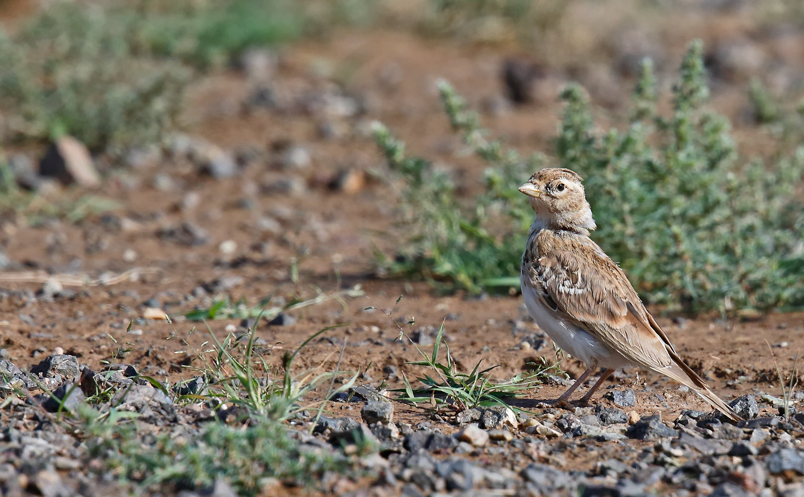 Asian Short-toed Lark