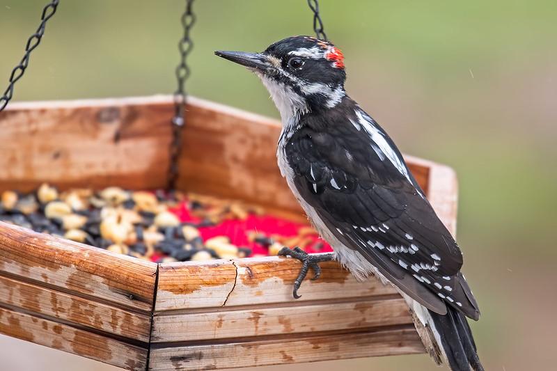 Hairy-Woodpeckerr-19-7D2-081119