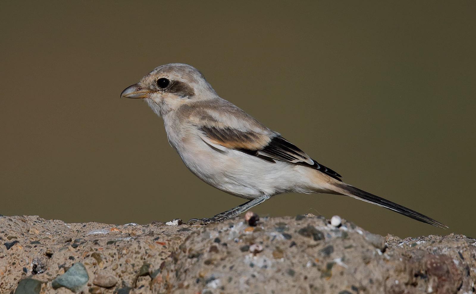 Steppe Grey Shrike - Juvenile