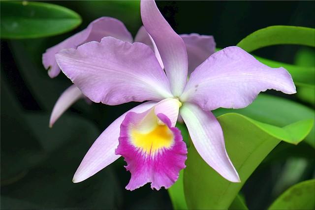 Cattleya Euphrasia