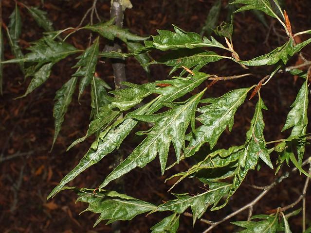 European beech (Fagus sylvatica var. heterophylla)