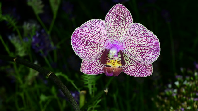 Phalaenopsis in Night