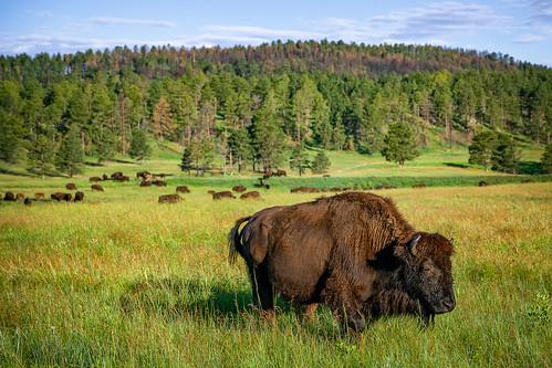 americanbuffalo bison custerstatepark custer southdakota animal wildlife wildlifeloop statepark dakota