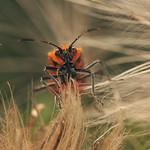 Cinnamon bug