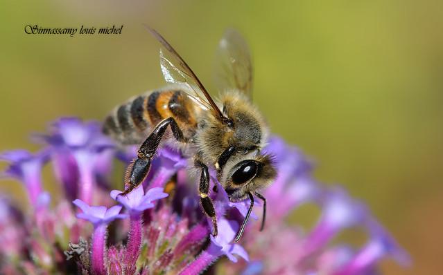 Honeybee / Abeille domestique