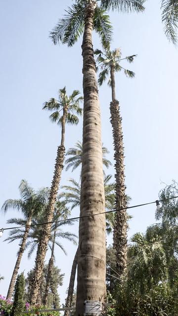 Brazilian Queen palm trees in Egypt's Orman botanical garden