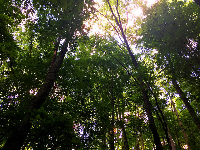 Reaching Skyward ~ Trees, Pisgah National Forest
