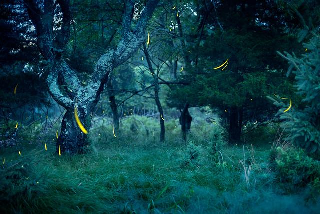 Pineland fireflies July  Jason Gambone  2019