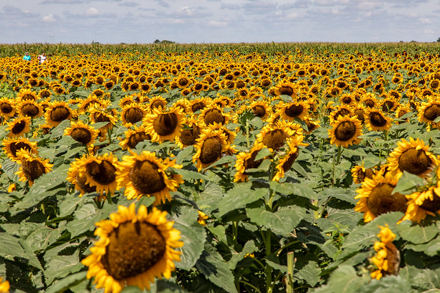 Iowa Field of Sunflowers