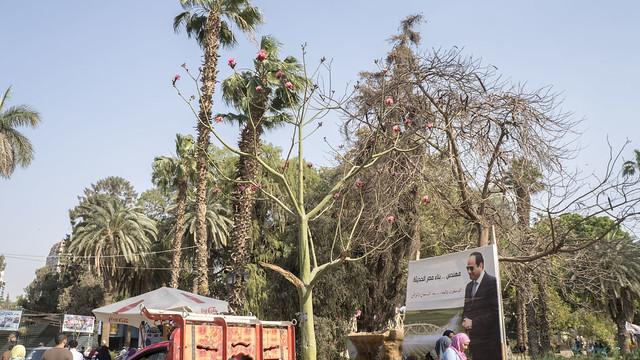 Mexican shaving brush tree at Egypt's Orman botanical garden