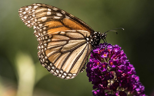Monarch Butterfly on a Butterfly Bush . . .