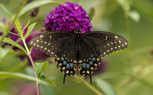 Female Black Swallowtail butterfly
