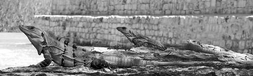 Black Iguana or Spiny-tailed Iguana (Ctenosaura similis) at Uxmal ruins in Yucatan, Mexico.