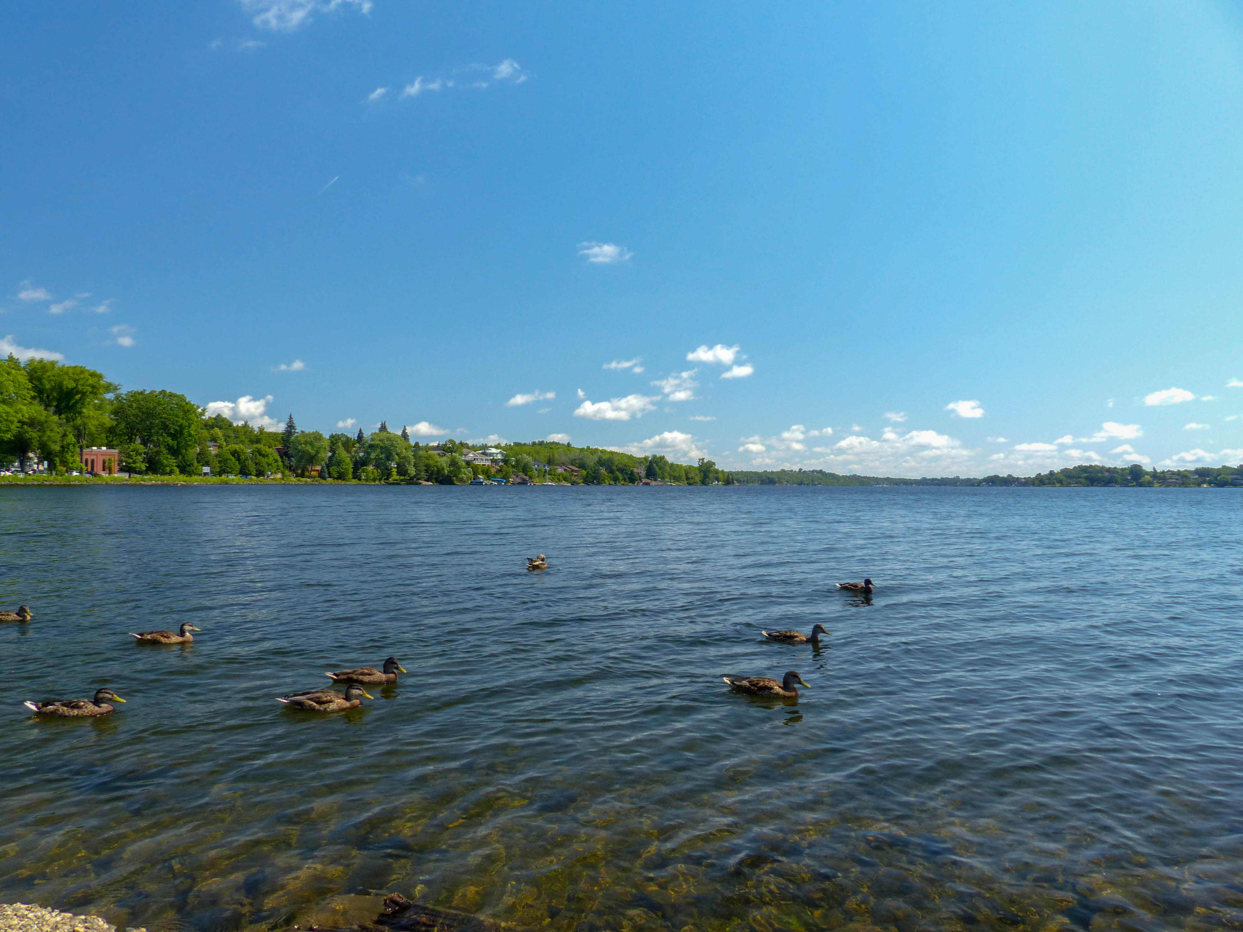 Ramsey Lake ducks