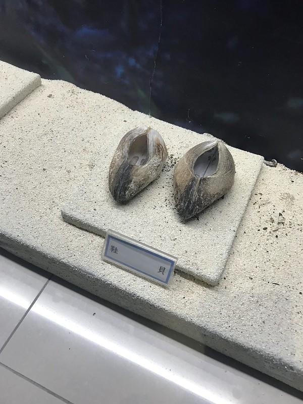 東沙月牙軒內所展示的鞋貝標本。