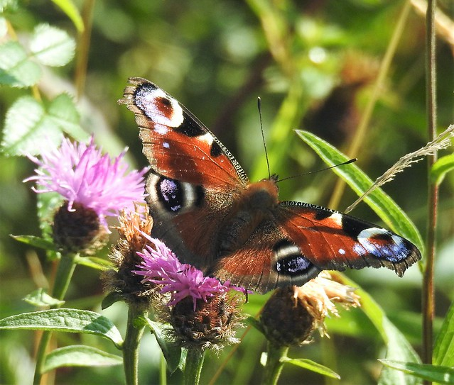 Peacock Butterfly On Thistle Heads