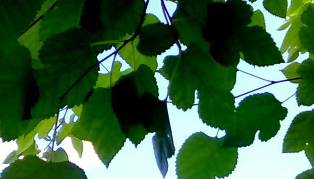 Leaves against the sky! Menominee Michigan