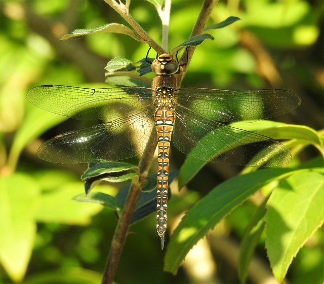Female Common Hawker Dragonfly
