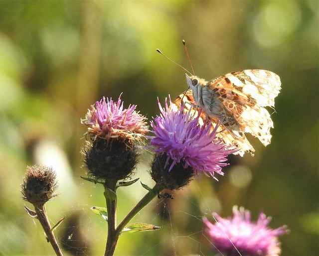Butterfly and Thistle Heads Macro