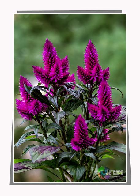 """Celosia argentea: """"Le bonheur est l'art de faire un bouquet avec les fleurs qui sont à notre portée.""""  ."""