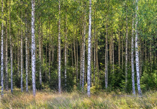 Birch wood. Explored.