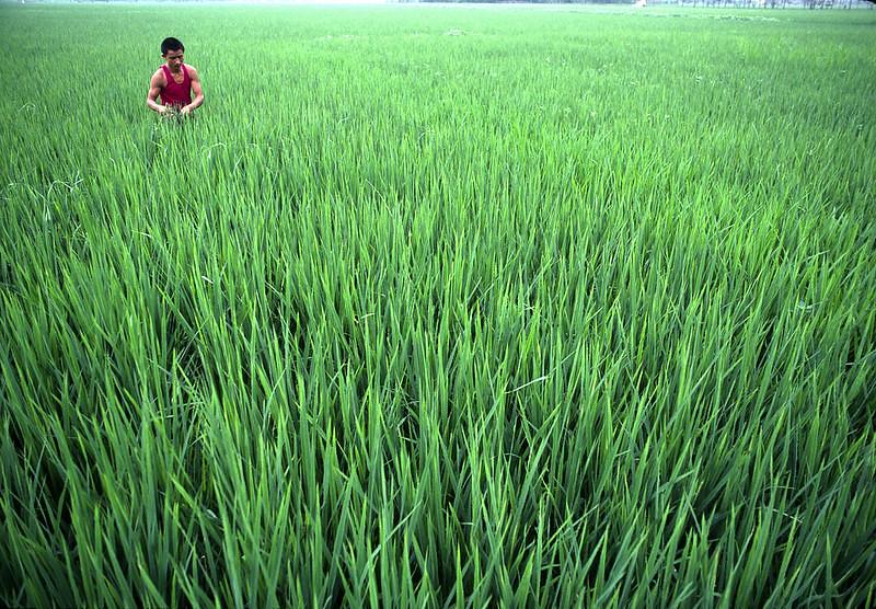 成都的稻田。John Isaac攝/聯合國圖庫(CC BY-NC-ND 2.0)