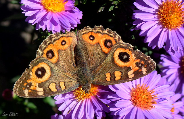 Meadow Argus Butterfly Among the Daisies