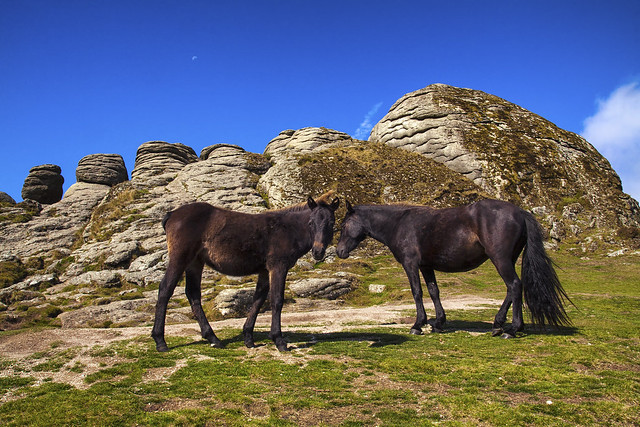 Haytor ponies and a half moon