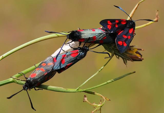 Six Spot Burnet (Mating) 110719 (6)