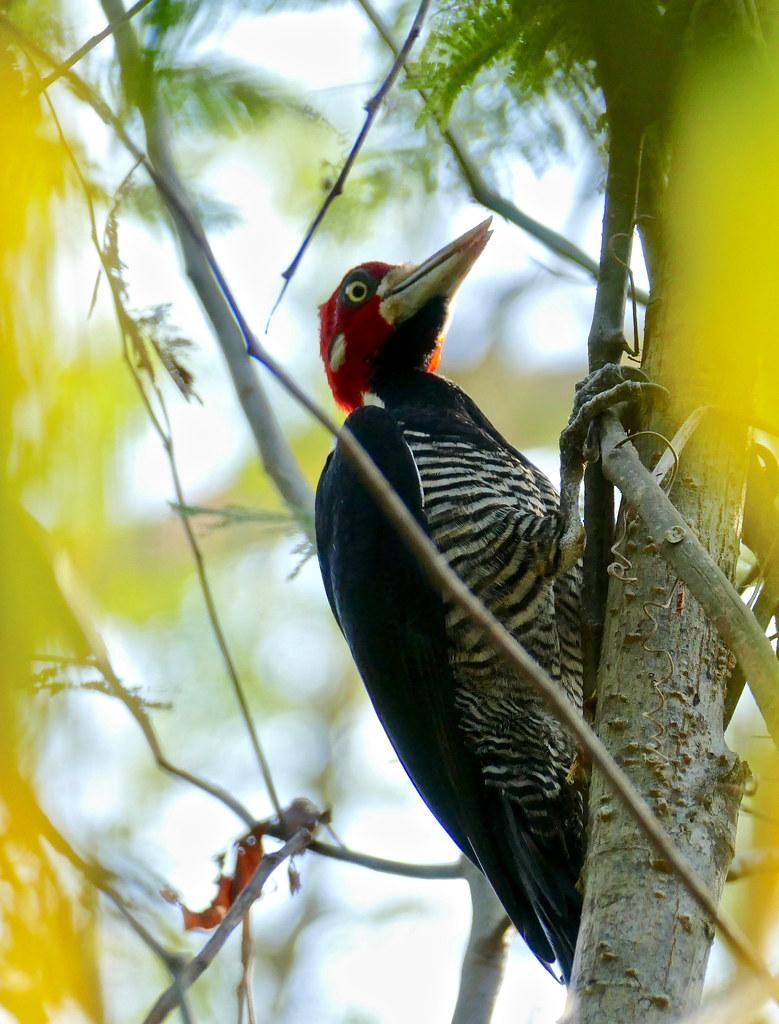 Crimson-crested Woodpecker (Campephilus melanoleucos) male ...