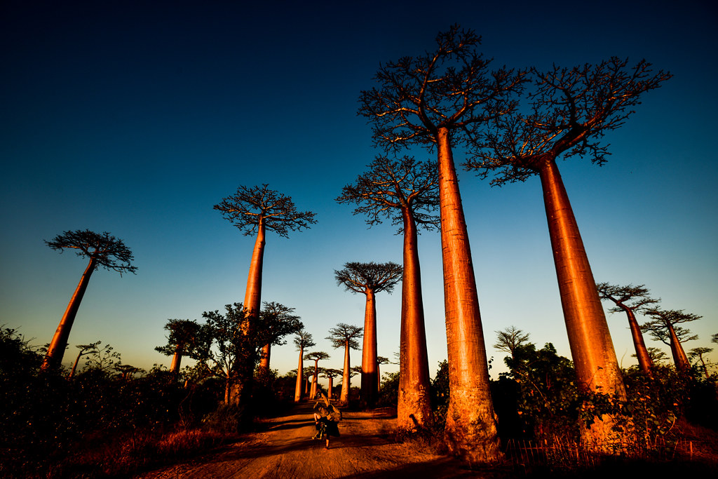 title intro photo of baobabs