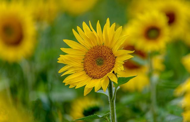 Sunflowers - Zurich, Ontario