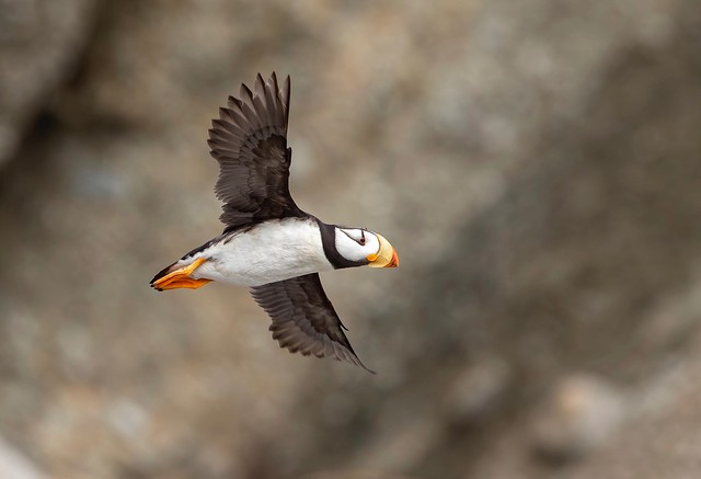 Flight of the Pacific Horned Puffin...