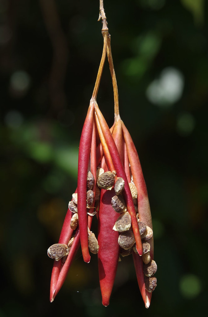 Adenia heterophylla ssp heterophylla, Cattana Wetlands, Cairns, QLD, 27/08/19
