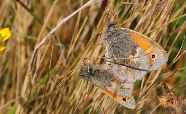 Small Heath (Mating) 260819