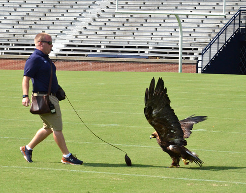 Andrew Hopkins uses a lure to train golden eagle Aurea.