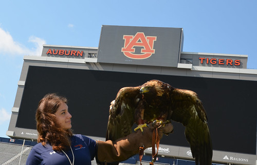 Amanda Sweeney holds golden eagle Aurea in front of the Jordan-Hare Stadium video board.