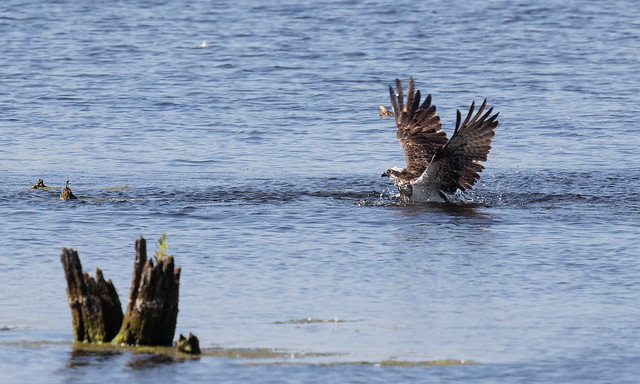 The Bank Holiday Osprey