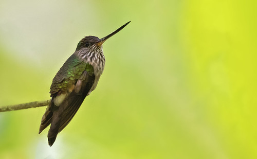 Androdon aequatorialis - Tooth-billed Hummingbird - Colibrí Piquidentado 06