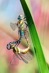 Roue libellules