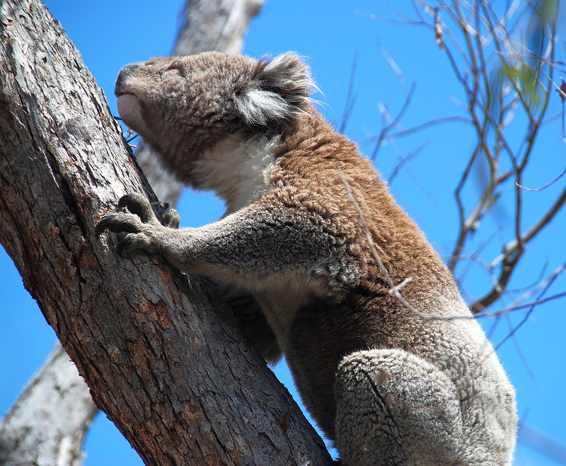 Downtime Down Under - You Can't Accuse a Koala of Being a Social Climber Just Because It's Reaching for the Next Eucalyptus Leaf!