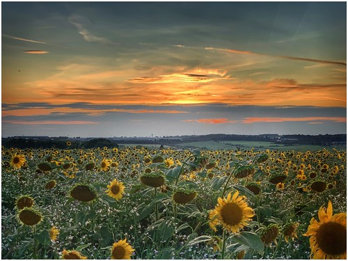flowers field farming farmland sunflowers agriculture sunset sky cloud sunlight colour nature clouds landscape outside outdoors photography image lincolnshire colourful sunlit naturephotography naturelovers imagecapture northlincolnshire skywatching imageof photoof northlincs natureseekers nlincs scunthorpe