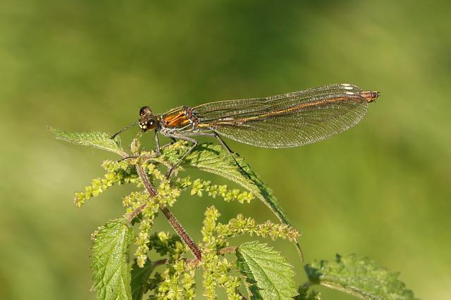 Banded Demoiselle ♀ Calopteryx splendens