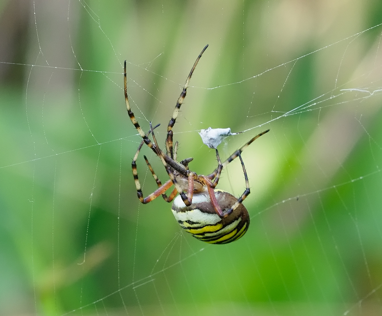 Wasp Spider with packed lunch