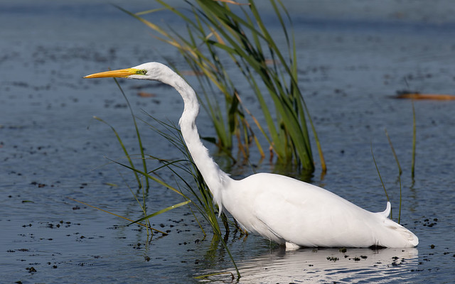 Great white egret posing