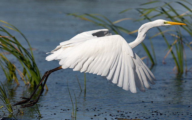 Great white egret leaving